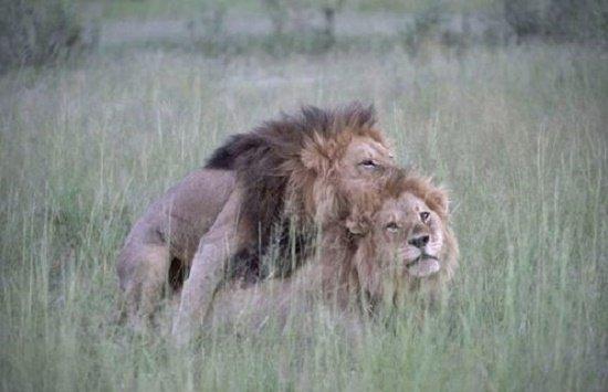 leones apareandose, homosexualidad en animales