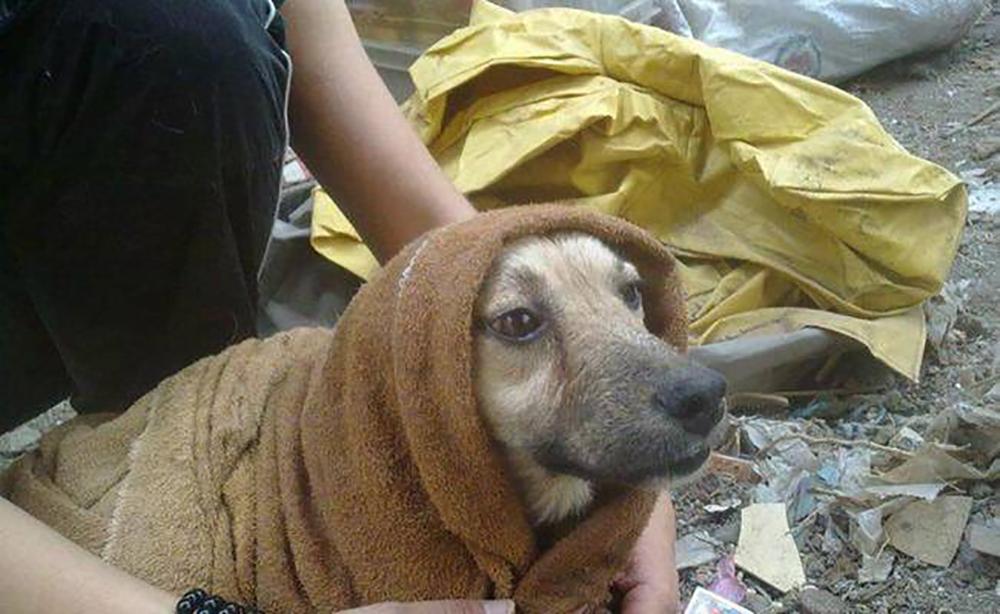adopcion de mascotas, perros sismo