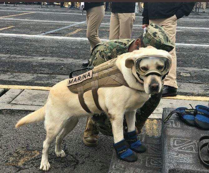 frida, la perra rescatista del sismo del 19 de septiembre